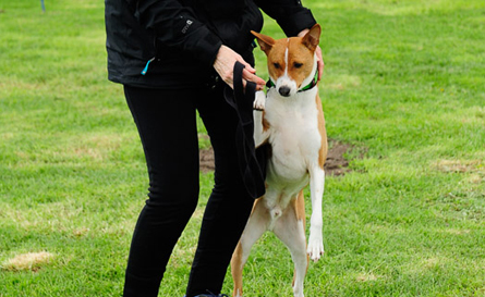 Most Obedient Basenji winner!